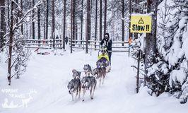 Хаски, олени и снегоходы