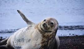 Тюлени в Исландии